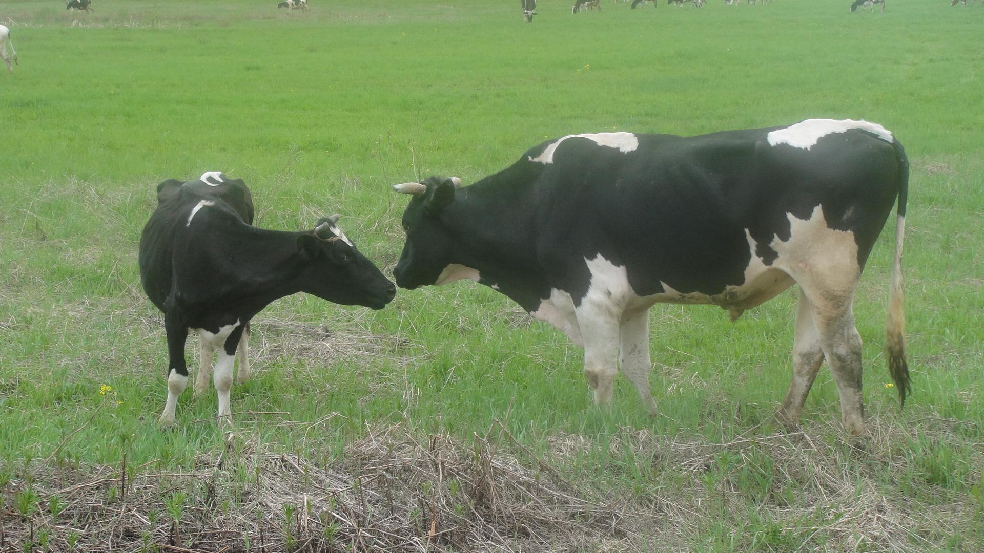 говядина свежие туши фермерское хозяйство: