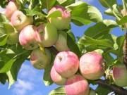 Яблоки (сорт клубничные)
